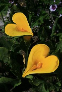 "flowersgardenlove: "" Beautiful CallaLily Beautiful """