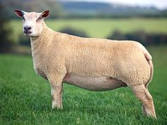 Charollais sheep, originated in east central France, the same region as the Charollais cattle.