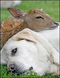''Sam the Labrador snuggles up with fawn Bluebell. Bluebell and Sam struck up an instant friendship. She snuggled up to him in his bed and they've been inseparable ever since. Animals And Pets, Baby Animals, Funny Animals, Cute Animals, Beautiful Creatures, Animals Beautiful, I Love Dogs, Cute Dogs, Unlikely Animal Friends