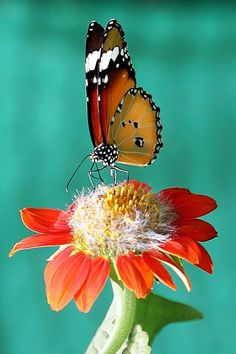 amazing photo of a butterfly on a flower - symmetrical perfection in its wings