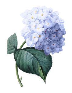 Francés Vintage azul Hortensia imagen Digital imprimible: Uso