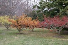 Which Winter Witch Hazel Should You Grow? Which Winter Witch Hazel Should You Grow? Winter Witch Hazel Should You Grow . Winter Plants, Winter Garden, Moon Garden, Dream Garden, Garden Trees, Garden Plants, Witch Hazel Tree, Organic Soil, Low Maintenance Plants