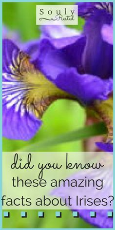 Blooming With a Story   facts about an iris   nature study   Our Backyard Book   Studying nature with a child   flowers in my backyard   homesteading   homeschooling   living simply   SoulyRested.com