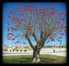 Erythrina caffra, the South African coral tree - The flowers open before the leaves, which further enhances the beauty of flowering. This tree can reach 12 feet in cultivation. Its branches are protected by spines short and thick. Flowering Trees, Trees And Shrubs, African Plants, Hummingbird Plants, Coral, Garden Landscaping, Landscaping Ideas, Grape Vines, Great Places