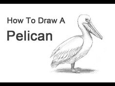 How to Draw a Pelican (American White) - YouTube