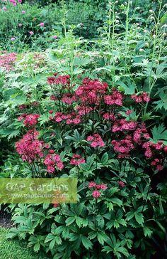 Image result for astrantia delphinium