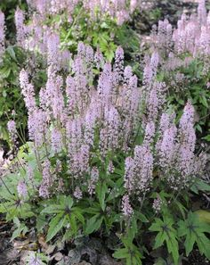 Tiarella morning star - can be in shade