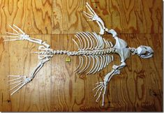Can you guess which animal this skeleton comes from? Is it a dog? A dolphin? Ocean Aquarium, Cape Town South Africa, Atlantic Ocean, Oceans, Skeleton, African, Animal, Dog, Diy Dog