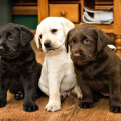 Lab puppies are adorable