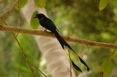The Greater Racket-tailed Drongo, Dicrurus paradiseus, is distinctive in having elongated outer tail feathers with webbing restricted to the tips. They are conspicuous in the forest habitats often perching in the open and by attracting attention with a wide range of loud calls that include perfect imitations of many other birds.  These drongos will sometimes steal insect prey caught or disturbed by other foragers in the flock. They are diurnal but are active well before dawn and late at…