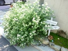ロータス・ヒルスタス ブリムストーン 耐寒性-10度迄 常緑のまま越冬できる 育レポ秋に鉢植え植込みました。春になるとどんどん育ち始めます。