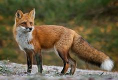 Outside the rearing time of year, generally red foxes favour living in the open, in thickly vegetated territories, however they might enter tunnels to ...