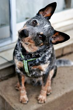 Jax the Cattle Dog by SamTheCowdog What ya TALKIN 'Bout!?