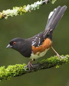 Spotted Towhee                            found in western United States