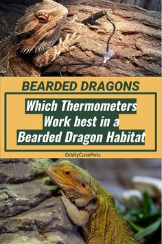 A complete review of the best bearded dragon thermometers and how to use them in your habitat. [DETAILS] Bearded Dragon Heat Lamp, Bearded Dragon Lighting, Bearded Dragon Care Sheet, Bearded Dragon Habitat, Reptile Heat Lamp, Bearded Dragon Enclosure, Bearded Dragon Terrarium, Hiding Spots, Pet Health