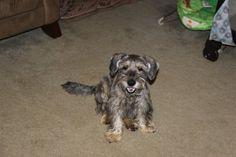 Lost Dog - Schnauzer Miniature - Lawrenceville, GA, United States 30046