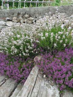 Mateřídouška obecná ´Redstart´ - Thymus serpyllum ´Redstart´