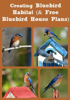 Bluebird Habitat (& Free Bluebird House Plans) How to create successful bluebird habitat on your property & plans for building a bluebird nesting box.How to create successful bluebird habitat on your property & plans for building a bluebird nesting box. Bird Feeder Plans, Bird House Feeder, Bird Feeders, Bluebird House Plans, Bluebird Houses, Bird House Kits, Bird Aviary, How To Attract Birds, Backyard Birds