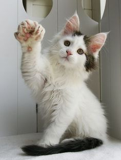 Maine Coon Cat Gallery - Cat's Nine Lives Cute Baby Cats, Cute Cat Gif, Cute Cats And Kittens, Kittens Cutest, Pretty Cats, Beautiful Cats, Hemingway Cats, Polydactyl Cat, Snowshoe Cat