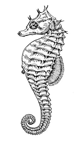 Lined seahorse - Wikipedia, the free encyclopedia