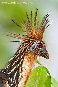 The Hoatzin (Opisthocomus hoazin), also known as the Hoactzin, Stinkbird, or Canje Pheasant, is a species of tropical bird found in swamps, riverine forest and mangrove of the Amazon and the Orinoco delta in South America. It is notable for having chicks that possess claws on two of their wing digits.  It is the only member of the genus Opisthocomus