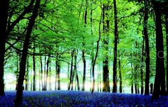 Bluebells in the forest Beautiful Forest, World's Most Beautiful, Beautiful World, Beautiful Places, Beautiful Flowers Pictures, Love Flowers, Blue Bell Flowers, Wood Nymphs, Plant Pictures