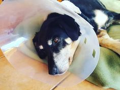 Kenny has been such a great old man. Had the cone of shame since an operation Friday and he hasn't given out. Well all be glad to get rid of it so he stops walking into stuff! #dogsofinstagram #twitter