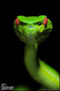 electricorchid: beware the wrath of the bamboo viper (Trimeresurus stejnegeri)   +