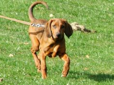 Redbone Coonhounds, I want two, big Dan and little Anne Redbone Coonhound, Hound Puppies, Four Legged, Cute Pictures, Bear, Dogs, Animals, Friends, Bing Images