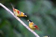Plata-Eared Mesia, Aves, Naturaleza