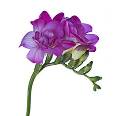 Freesia white, purple, yellow, pink  this flower comes in several shades
