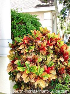 Crotons Codiaeum variegatum Crotons are the most popular of South Floridas colorful foliage plants, with brilliantly-colored leaves shot with gold, red, orange, green and even pink.