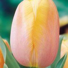 Tulip Dordogne - Parkers Wholesale