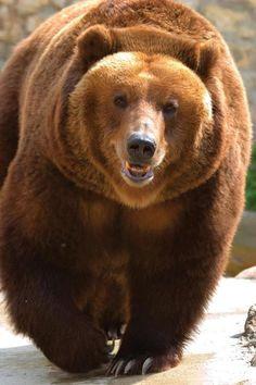 The Grizzly Bear EL SEÑOR DEL BOSQUE