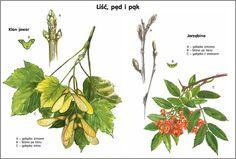 Scenariusz 1 Plant Leaves, Herbs, Education, Montessori, Plants, Herb, Teaching, Plant, Training