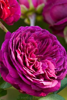 Crimson rose 'Falstaff'