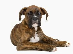 Boxer dog lying down looking noble.