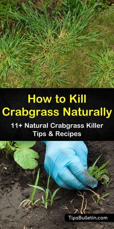 Learn how to kill crabgrass using homemade solutions like vinegar and orange oil. Get rid of crabgrass by mowing your lawn and establishing healthy care routines. Try these preventative measures to keep crabgrass off your lawn from one year to the next. Succulent Gardening, Organic Gardening, Gardening Tips, Organic Weed Control, Lawn Care Business, Lawn Care Tips, Weed Killer, Front Yard Landscaping, Landscaping Ideas