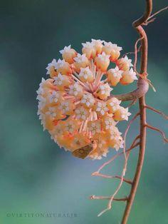 Hoya neoebudica Guillaumin