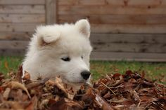 Luka our Samoyed  By Ducky7011  Steve L