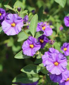 Voici ces fleurs, rencontrées au hasard des rues...