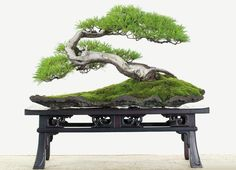 BONSAI Tree♦️More Pins Like This At FOSTERGINGER @ Pinterest ♦️