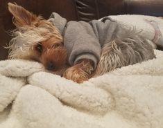 Traci's Atlas ⋆ It's a Yorkie Life Yorkie Dogs, Yorkies, Puppies, Custom Web Design, Pet Loss, Yorkshire Terrier, Adorable Animals, Animal Photography, Fur Babies