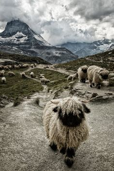 By Susanne La -- The valais blacknose sheep, close to the Matterhorn. They are very typical for the region.