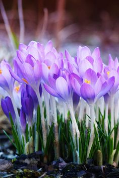 "Spring giant crocus bulbs: ""All Nature seems at work. Slugs leave their lair, the bees are stirring, birds are on the wing, And Winter slumbering in the open air, Wears on his smiling face a dream of spring. My Flower, Pretty Flowers, Purple Flowers, Spring Flowers, Good Morning Beautiful Flowers, Crocus Bulbs, Deco Floral, Spring Sign, Spring Garden"