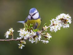 Blue tit (parus caeruleus) by sbanner on 500px