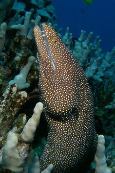 Whitemouth moray eel, Gymnothorax meleagris