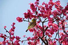 Tokoyo Japan cherry bloosm