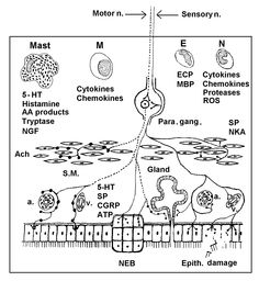 ENT nerve cells are bathed and influenced by the same