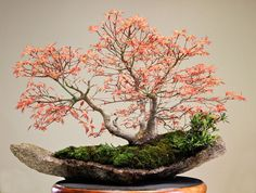 he word bonsai is most closely associated by most with the growing of miniature trees, and although this is somewhat accurate, there is a lot more to it than that. A bonsai is not a genetically overshadowed plant Indoor Bonsai Tree, Bonsai Plants, Bonsai Garden, Bonsai Trees, Succulents Garden, Air Plants, Cactus Plants, Plantas Bonsai, Arreglos Ikebana